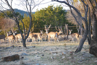 Axis Deer Herd