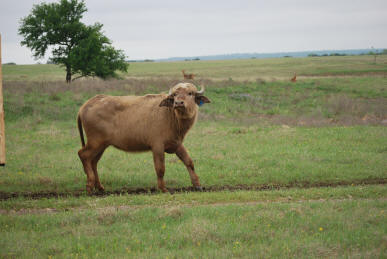 White Water Buffalo